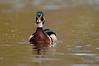 ADK-12427: Drake Wood Duck