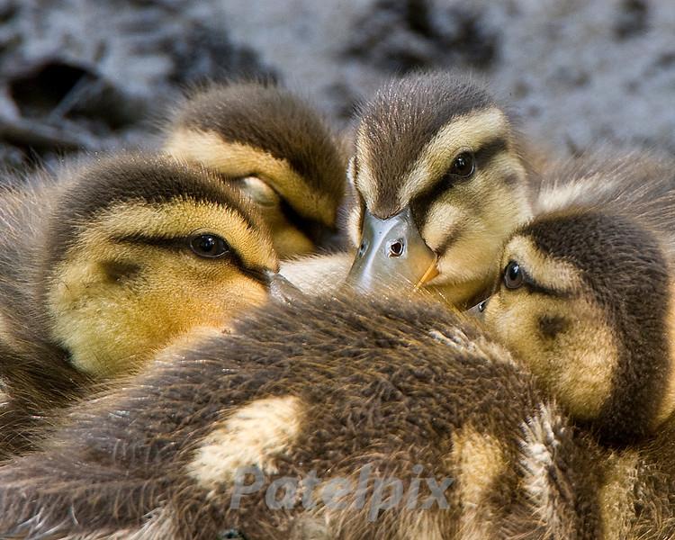 When Eyes meet ---<br /> Mallard ducklings<br /> The Celery Farm<br /> Allendale, New Jersey