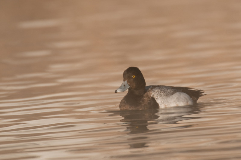 ADK-10036: Male Greater Scaup (Aythya marila)