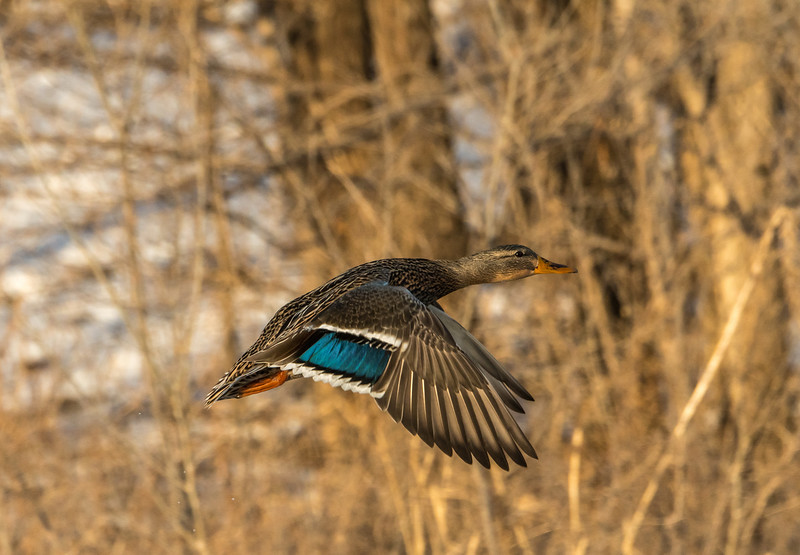 Hen Mallard in flight