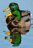 Diplopia!!!<br /> One (or two?) mallard ducks (male)<br /> The Celery Farm<br /> Allendale, New Jersey