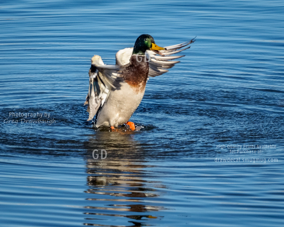 Dance of the Mallard