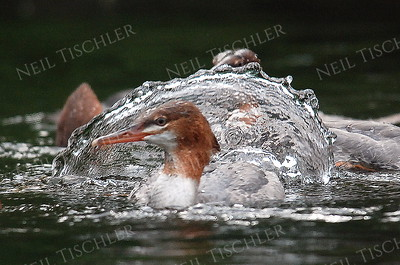 #1009  Common mergansers feeding as a group.  Their very fast head movements gives rise to sheets of water.