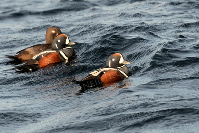 #1157  Harlequin Ducks in ocean off Rockport, MA