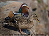 The Odd Couple<br /> Mandarin duck male and mallard female<br /> New Jersey 2009