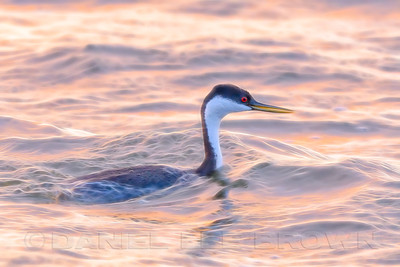 Western Grebe, Clearlake, Lake County, CA. Illustrated with image editing software.