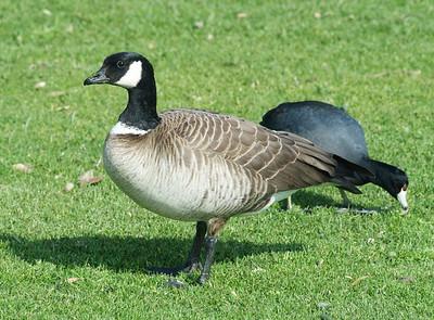 Cackling Goose, Chula Vista, CA 01/11/2008