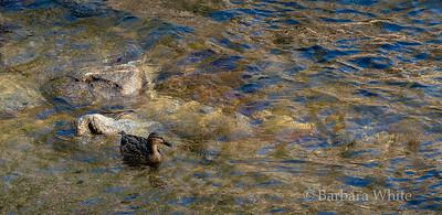 Female Mallard in River