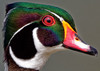 Wood Duck Closeup