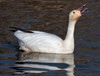 Irritated Snow Goose