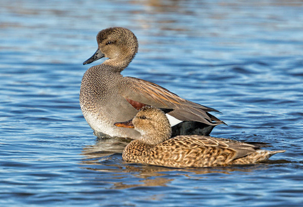 Gadwall Display