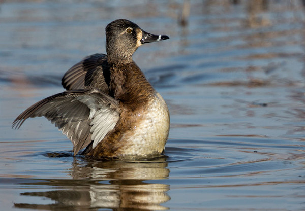 Female Ringed Neck Duck
