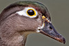 Femal Wood Duck Closeup