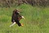 Bald Eagle (b0524)