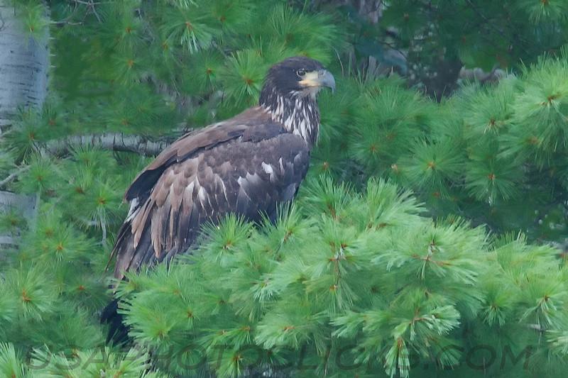Bald Eagle (b0526)