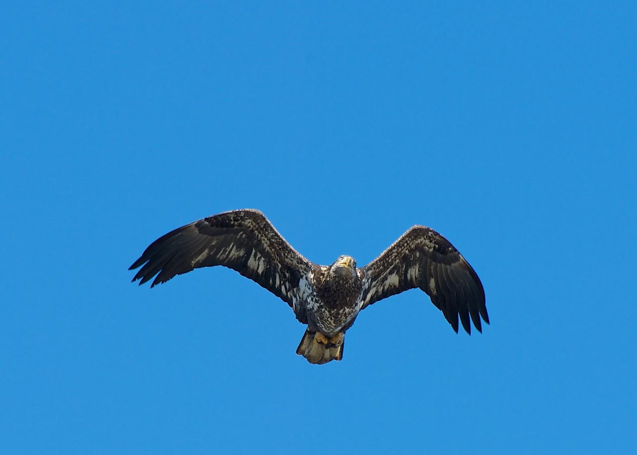 Eagle's on the Fox