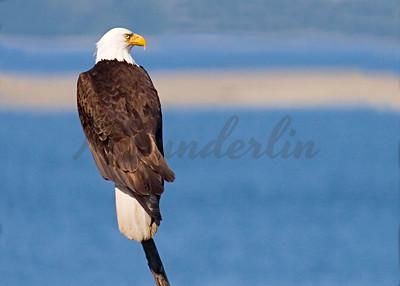Eagle on a pole