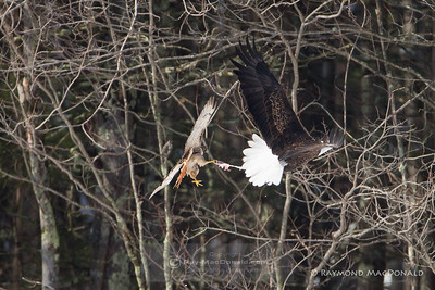 IMG_9154  ...A Red Tailed Hawk tears off a piece of the Bald Eagle's catch.