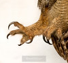 IMG_6711  Great Horned Owl Talons (one open, one partially closed).