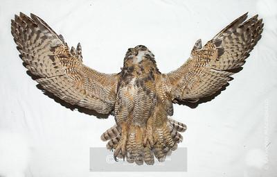 IMG_6691  Great Horned Owl (specimen).