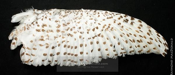 IMG_6638  Snowy Owl wing.