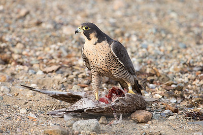 IMG_1015   Peregrine Falcon returns to feed on recently caught juvenile Herring Gull