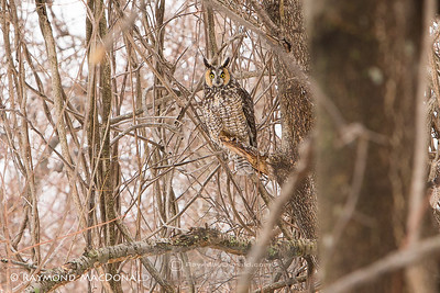 Long eared Owl, finished crop.
