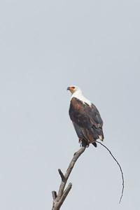 African Fish Eagle - Lake Nakuru Naional Park, Kenya