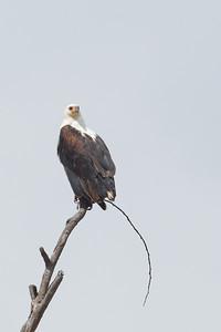 African Fish-Eagle - Lake Nakuru Naional Park, Kenya