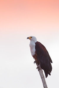 African Fish-Eagle - Amboseli National Park, Kenya