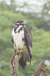 Augur Buzzard - Lake Nakuru National Park, Kenya