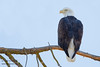 Bald Eagle - Mines Road, CA, USA