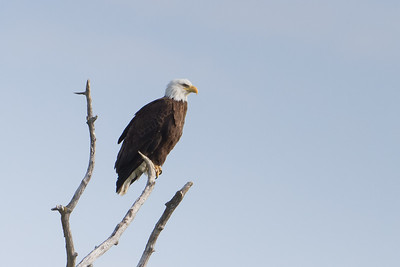 Bald Eagle - Anchorage, AK, USA
