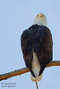 Bald Eagle - Photo by Leena - Mines Road, CA, USA