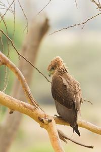 Bateleur - Juvenile - Ngorongoro Crater, Tanzania