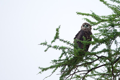 Bateleur - Juvenile - Tarangire National Park, Tanzania