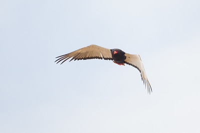 Bateleur in flight - Tarangire National Park, Tanzania