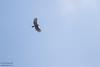 Black Hawk-Eagle - Record - Chiquibul National Park & Reserve, Belize