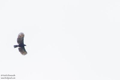 Black Hawk-Eagle - Amazon, Ecuador