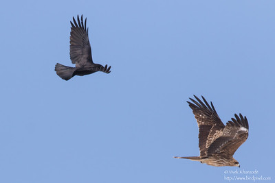 Carrion Crow attacking Black-eared Kite - Hokkaido, Japan