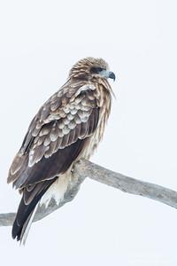 Black Kite - Hokkaido, Japan