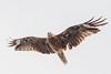 Black Kite (Black-eared sub species) - Oiso Seashore, Kanagawa - Japan