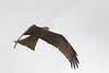 Black Kite in flight - Ngorongoro Crater, Tanzania