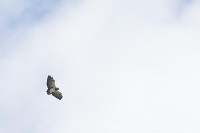 Black-chested Buzzard-Eagle - Ecuador