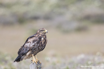Black-chested Buzzard-Eagle - Chile