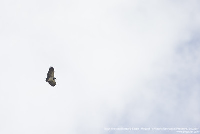 Black-chested Buzzard-Eagle - Ecuador