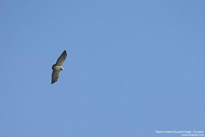 Black-chested Buzzard-Eagle - Record - Antisana Ecological Preserve, Ecuador