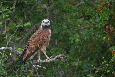 Black-collared Hawk - Crooked Tree, Belize