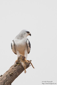 Black-shouldered Kite - Kutch, Gujrat, India