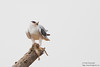 Black-shouldered Kite - Kutch, Gujrat, India
